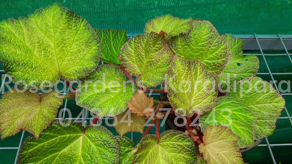 Begonia B23