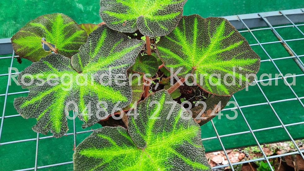 Begonia B19