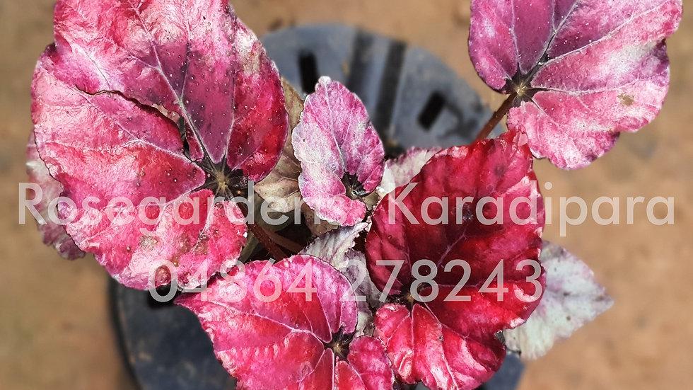 Begonia B47