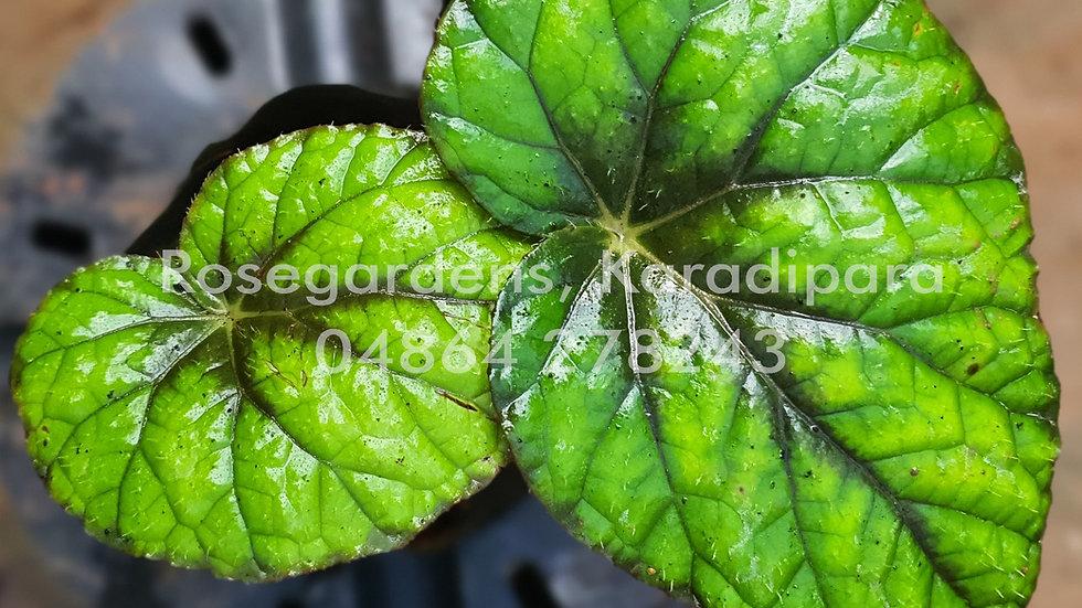 Begonia B45