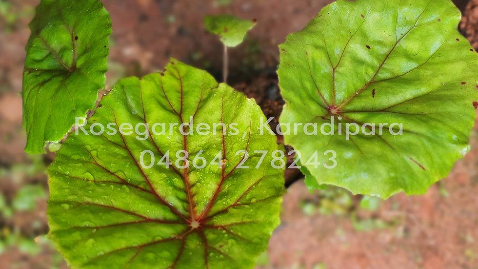 Begonia B42
