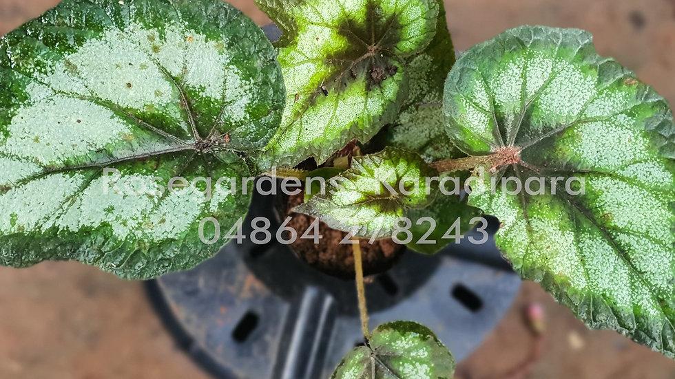 Begonia B10
