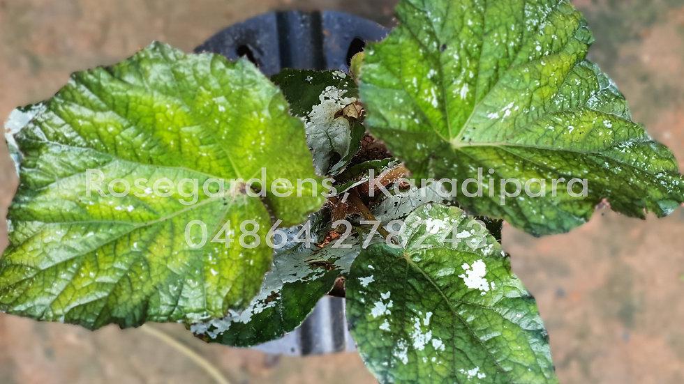 Begonia B32