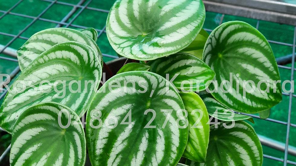 Pepperomia - Watermelon P37