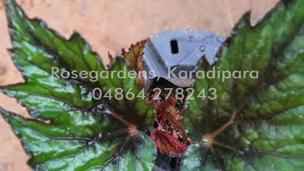 Begonia B6