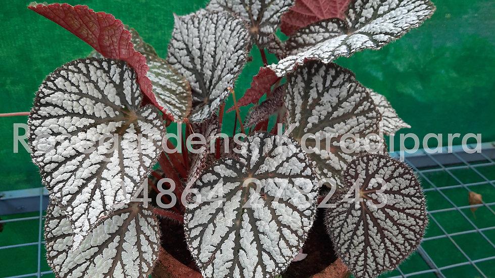 Begonia B13