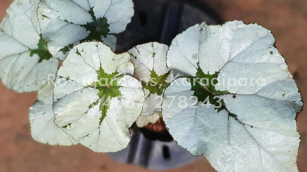 Begonia B18