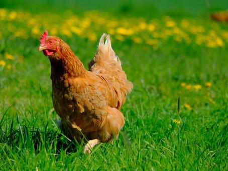 Atelier - Accueillir des poules au jardin