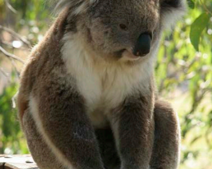State Environmental Planning Policy (Koala Habitat Protection) 2019 Review