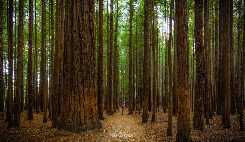 Redwoods - Rotorua.