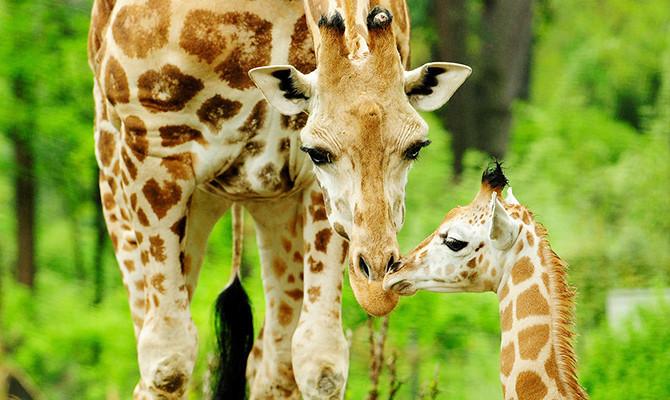 As girafas do Bronx Zoo, nos Estados Unidos (foto: bronxzoo.com/)