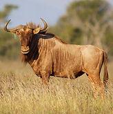 Copy of golden_wildebeest_6.jpg