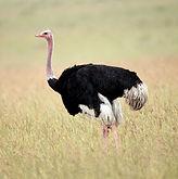 Copy of ostrich.jpg