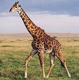 Copy of girafa.jpg
