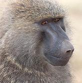 Copy of 1200px-Papio_anubis_(Serengeti,_