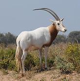 Copy of scimitar-horned-oryx.jpg