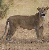 Copy of lioness-1510900_1280.jpg
