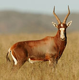 Copy of Blesbuck_Common_700x.jpg