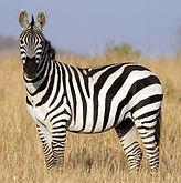 Copy of zebra.jpg