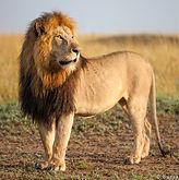 Copy of impressive_male_lion.jpg