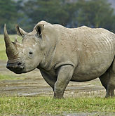 Copy of Northern-White-Rhino.jpg