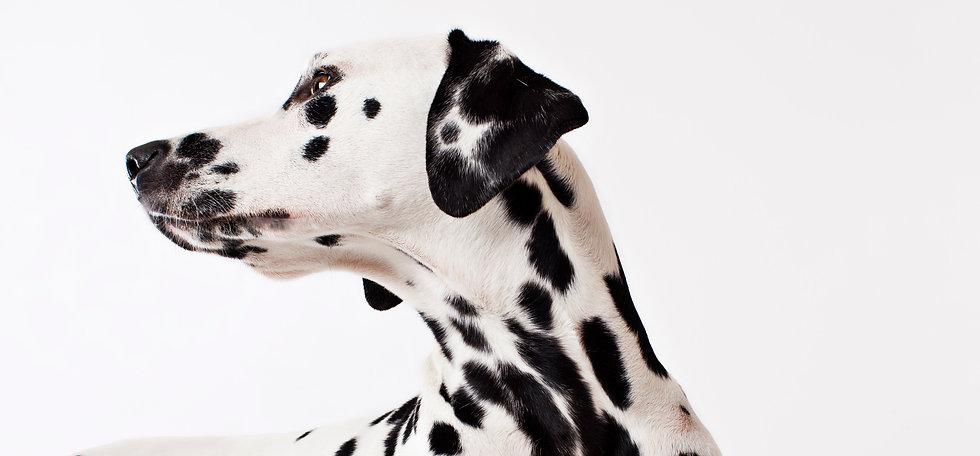 Dalmatian_edited.jpg