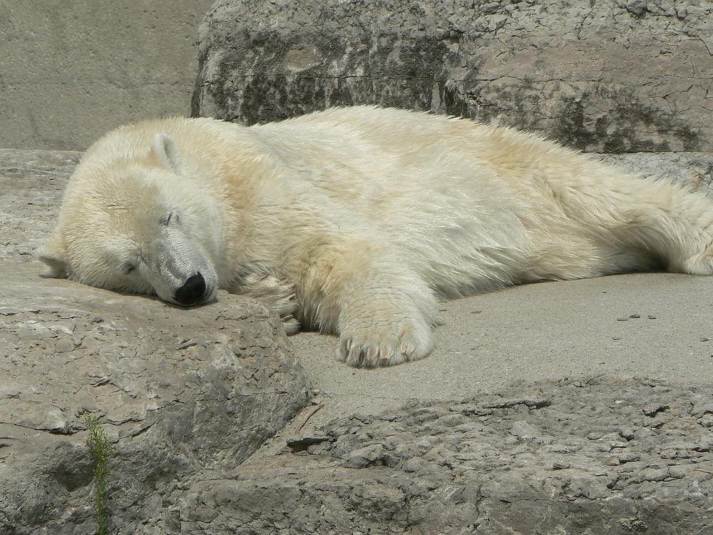 Sleeping polar bear – How to Nap Effectively