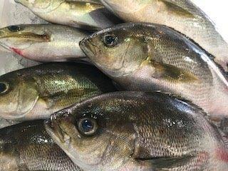 6月の旬のお魚は「イサキ」