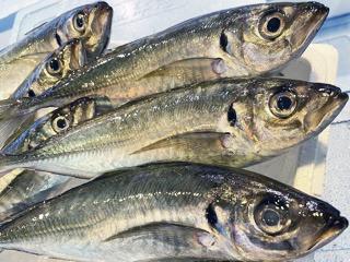 7月の旬のお魚は「アジ」