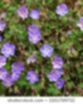 GeraniumRozanne.webp