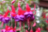 Fuscia_edited.jpg