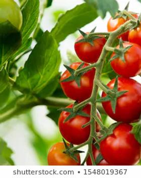 Tomato.webp