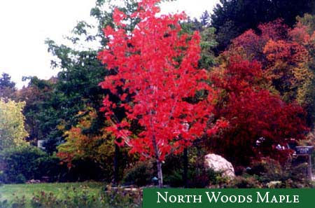 North Woods Maple tree
