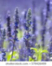 Salvia.webp