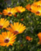 Osteospermum.jpg