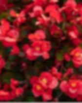 Begonia_edited.jpg