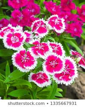 Dianthus.jpg