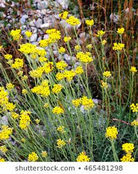 Helichrysum.webp