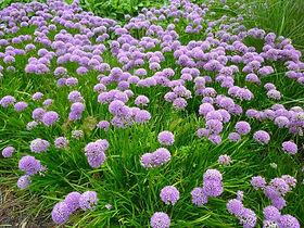 Allium.jpg