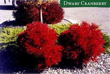 Dwarf Cranberry bush