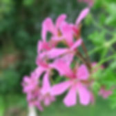 Ivy%20Geranium_edited.jpg