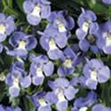 Angelonia - Dresden Blue