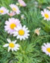 Argyranthemum.jpeg