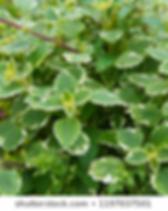 Swedish Ivy.webp