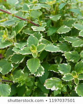 Swedish Ivy.webp
