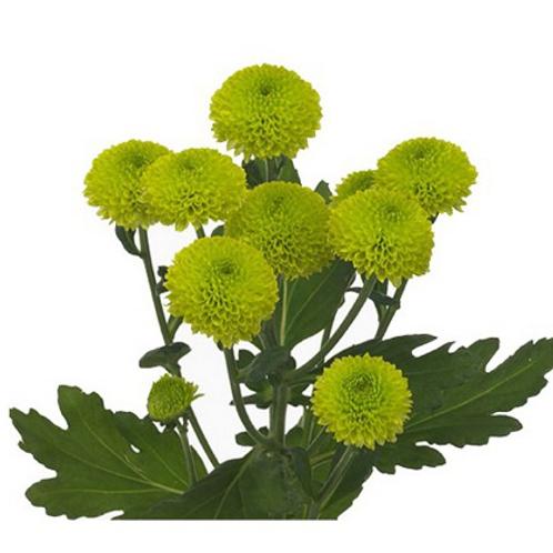 Chrysanthème Vert