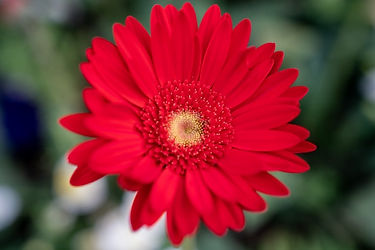 fleur-gerbera-rouge.jpg
