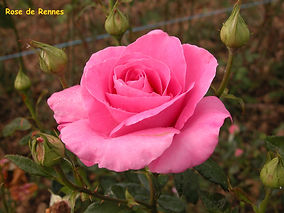rose  rose de-rennes.jpg