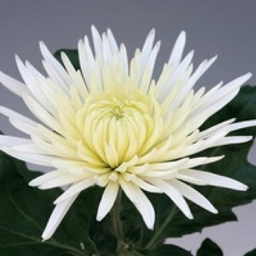 Chrysanthème Tokyo Blanc