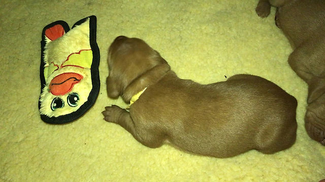 10 day old Vizsla puppy plays with toys